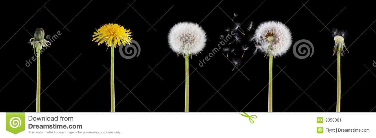 life-cycle-dandelion-9350001