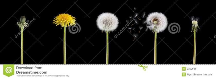 life-cycle-dandelion-9350001